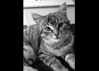 Lisa is a little beautiful tabby looking for a furever home. She's appx. 3 months old and is spayed and up to date on vaccines.   If interested call Amy at Furfest Rockin the Rescues 1-989-894-0174.