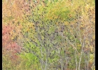 Two common sights in our area each fall, black birds and trees in full color.    --Courtesy Photo