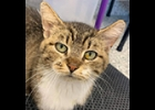 This is Addison, 6 year old female, Look at that sweet face. FIV positive, no big deal.  She is in the  Humane Society of Bay County cattery. info@humanesocietybc.org.