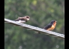 a Bank Swallow (left) perches on a wire beside a more colorful and larger Barn Swallow (right).                      			        --Courtesy Photo