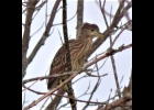 juvenile Black-crowned night-heron seen on Nayanuing Point in August 2020.                                            --Courtesy Photo