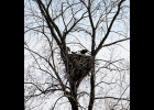 an eagle's nest has returned to Pinconning near the Saginaw Bay, with two new chicks, for the fourth year in a row.