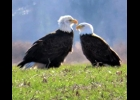 Two Adult Bald Eagles landed together in a Pinconning Township field. Almost looks like they are having a discussion!                                     --Courtesy Photo