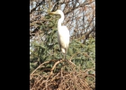 This Great Egret  was seen recently near Pinconning.                                                   --Courtesy Photo
