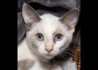 Ivy is a 3.5 month old Siameese mix. She is very active, but gentle, with blue eyes. She is spayed and up to date on vaccines.  If interested call  Amy, at Furfest Rockin the Rescues at 989-894-0174.
