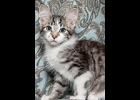 Loki is a playful, loving tabby and white boy. He's neutered and up to date on vaccines. If you are interested in any of these cats, call 1-989-894-0174, Furfest Rockin the Rescues,  Bay City.