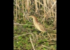 this least bittern was seen August 7th, 2020 on Nayanquing Point standing on a pad of lilies.					                                          --Courtesy Photo