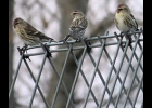 these common redpolls were seen on a feeder in Pinconning on Nov. 20, 2020.                                			        --Courtesy Photo