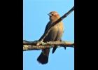 Birding Bits - Rusty Blackbird