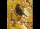 This Savannah Sparrow was photographed in a golden yellow soybean field near Pinconning last week.                                                                        --Courtesy Photo