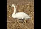 a tundra swan was seen walking through corn stubble near Pinconning in serch of food on his way to the Chesapeake Bay area for the winter.                     			                             --Courtesy Photo