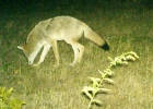 A coyote is seen exploring during the night at McLean Nature Preserve.                           --Courtesy Photo