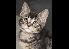 Fletcher is an approximately 3 month old male tabby kitten looking for a forever home . If interested call 1-989-894-0174.