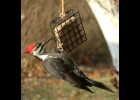 """This female Pileated Woodpecker was seen in Pinconning Twp. in late November. You can tell she's a female because her """"whiskers"""" are black. A male's whiskers are red.                             --Courtesy Photo"""