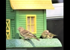 A PAIR OF PINE SISKINS on a bird feeder in Pinconning Township.                                         --Courtesy Photo