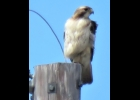 Red-tailed Hawk perched on a pole waiting for its next prey.                                            --Courtesy Photo