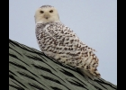 A Snowy Owl was spotted on Thanksgiving Day in the Pinconning area.   --Courtesy Photo