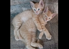 Cashew and Peanaut were born on May 21st. They are both males and were born indoors. If you would like to adopt these adorable twins call 989-513-0953 in Pinconning. (private individual)